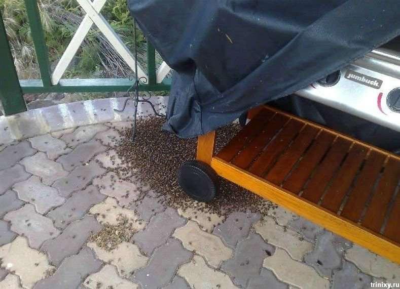 Як бджоли гриль окупували (10 фото)