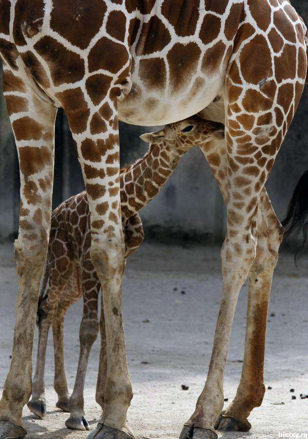 Новонароджений жираф в зоопарку Мемфіса (10 фото)
