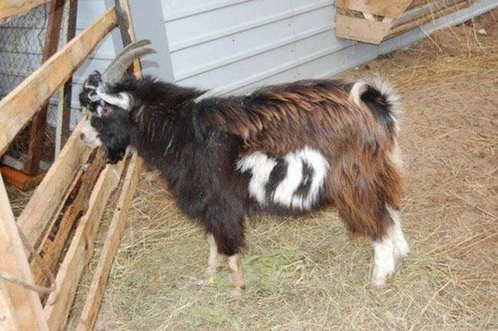 Незвичайний козел (4 фото)