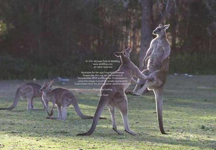 Бої кенгуру (6 фото)