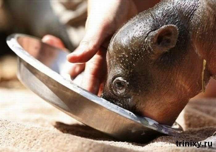 Трохи позитиву. Монифа - маленький гіпопотам в зоопарку Сіднея (6 фото)