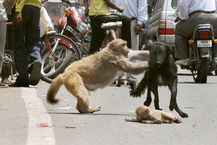 Дуже смілива мавпа (5 фото)