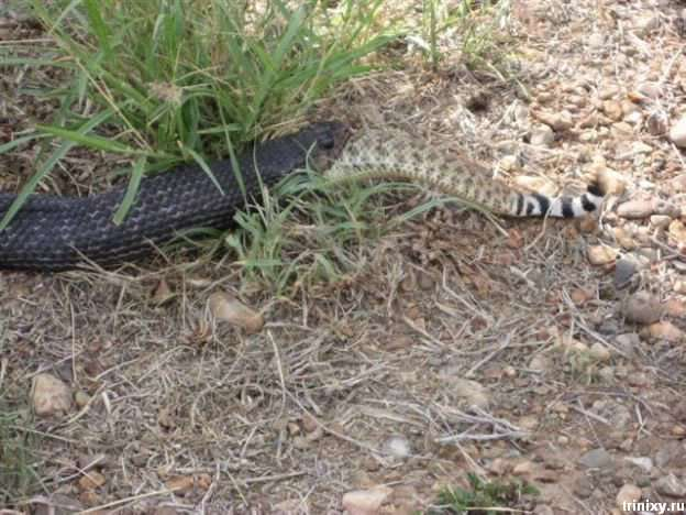 Змія зїла змію (5 фото)