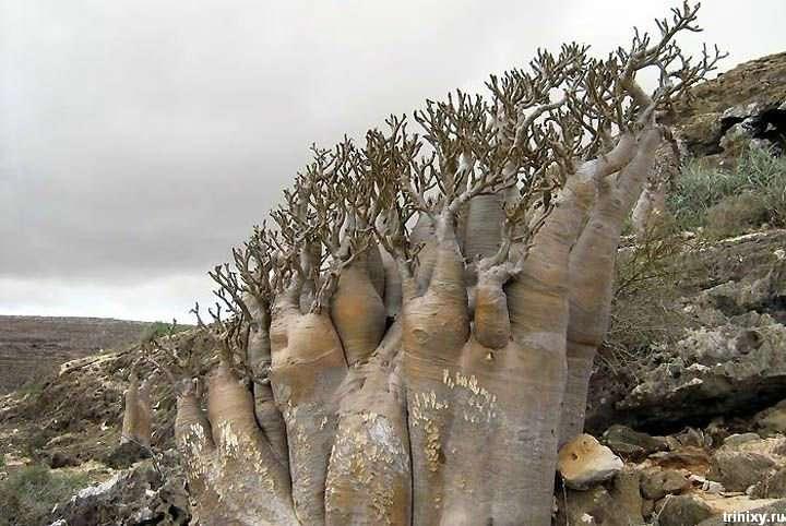 Острова Сокотра - саме інопланетне місце на Землі (19 фото)