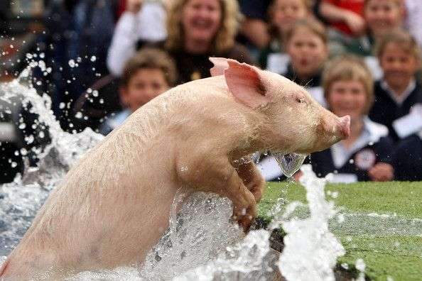 Свино-чемпіонат (16 фото)