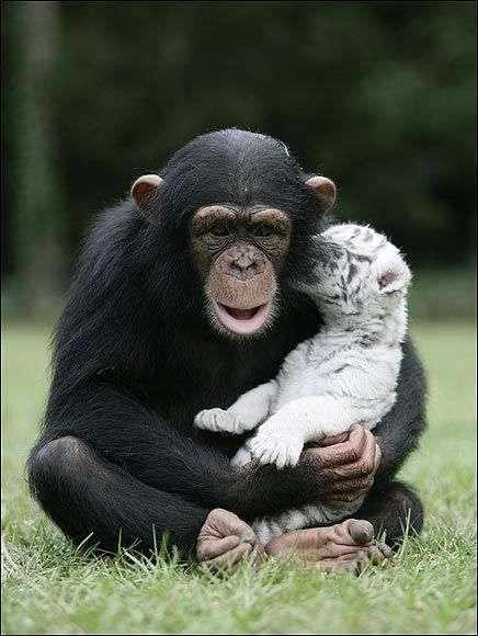 Шимпанзе ростить тигренят (13 фото)