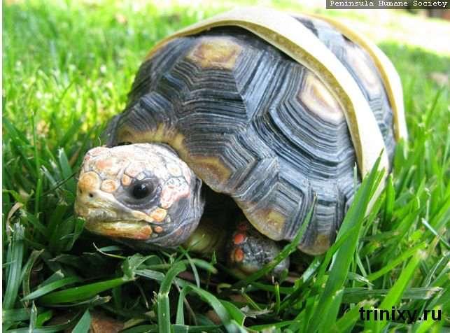 Протез для черепахи (11 фото)