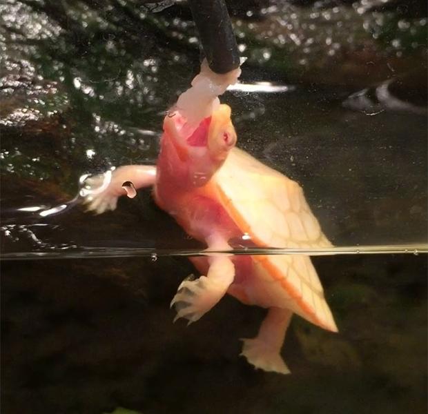 На свет появилась черепаха-альбинос с сердцем наружу Природа