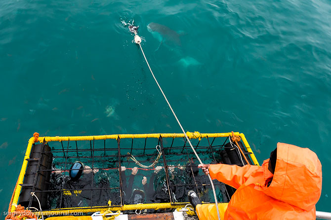 Погружение в клетке к большим белым акулам
