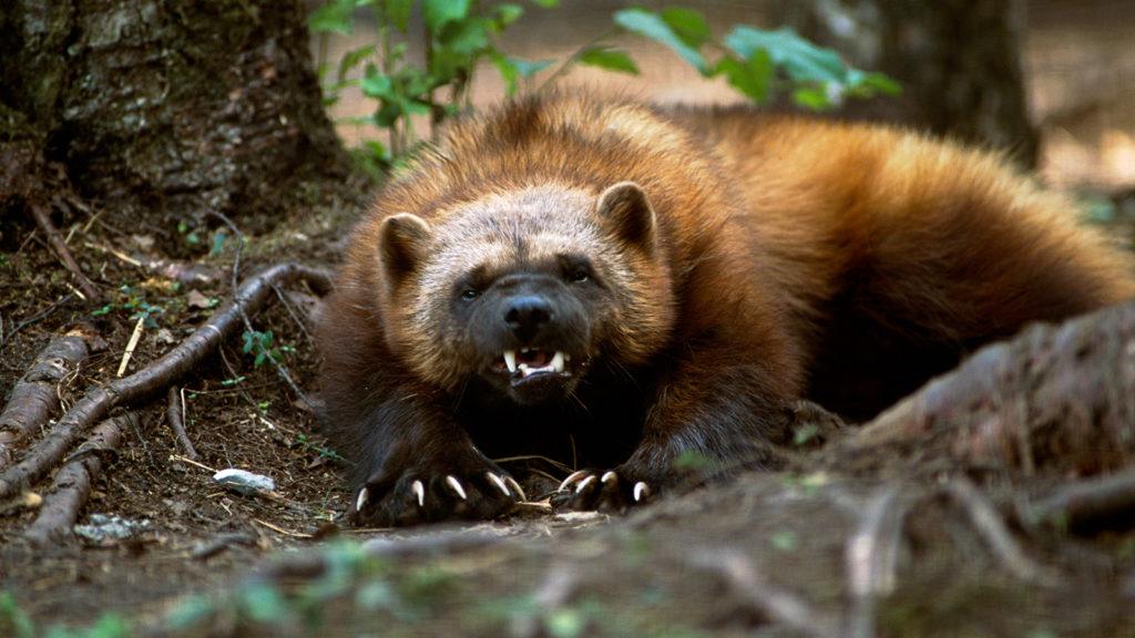 Опасная росомаха: зверь, которого сторонятся даже волки культура